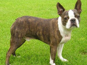 Der Nationalhund der USA: Der Boston Terrier.